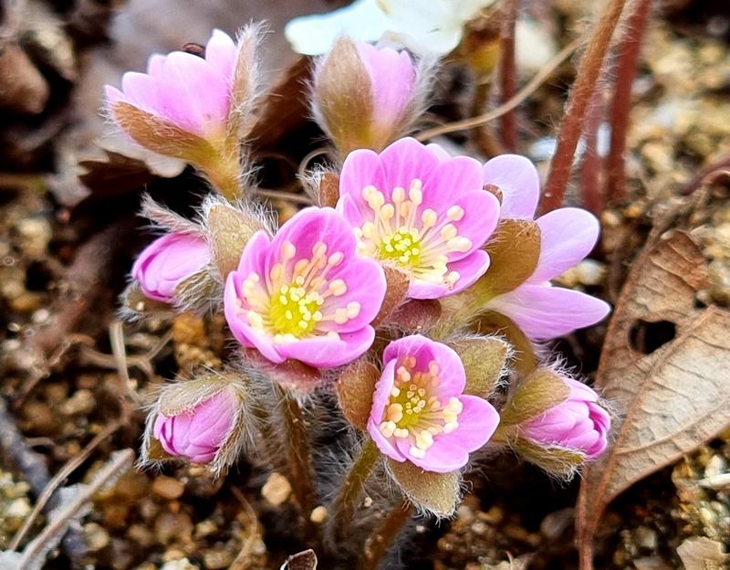 Rosa Leberblümchen auf der Halbinsel Byeonsanbando in Korea